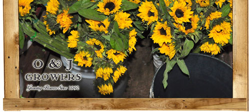 O&J Growers - Gallery - Sunflowers